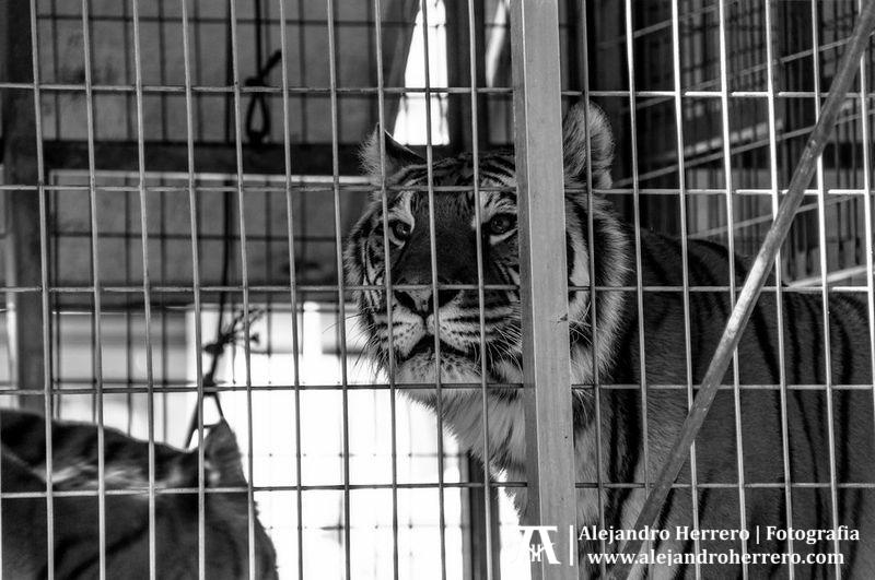 2013-01-17-San-Antonio-Patron-de-los-animales-Valencia-227-BW3